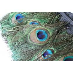 Pióra Pawie